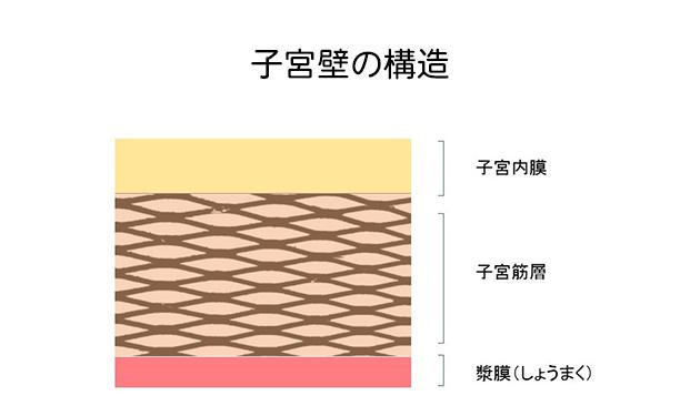 子宮壁の構造