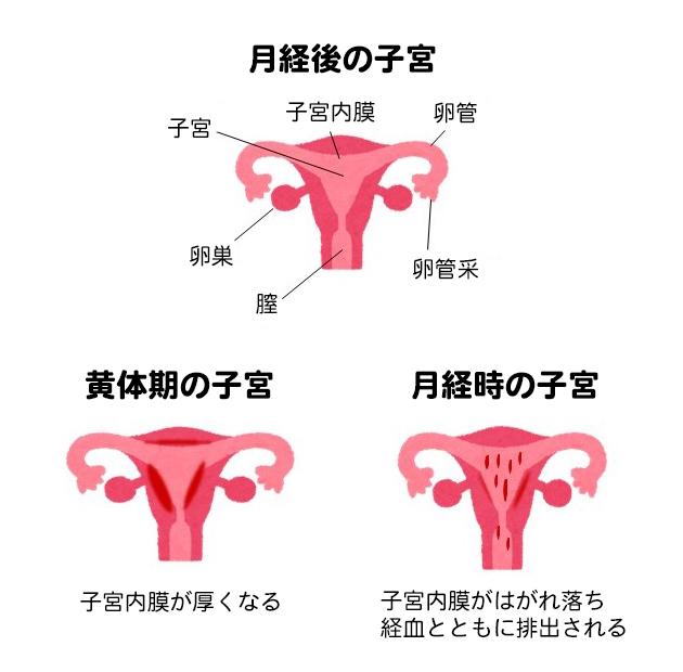 月経と子宮